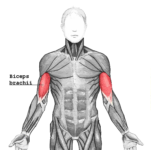 Diagram of biceps muscles causing pain in the shoulders