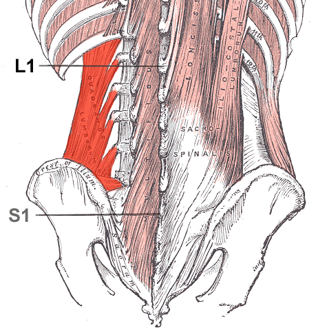 anatomy of low back muscles